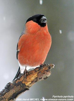 testez vous sur ce quiz des oiseaux de nos campagnes babelio. Black Bedroom Furniture Sets. Home Design Ideas