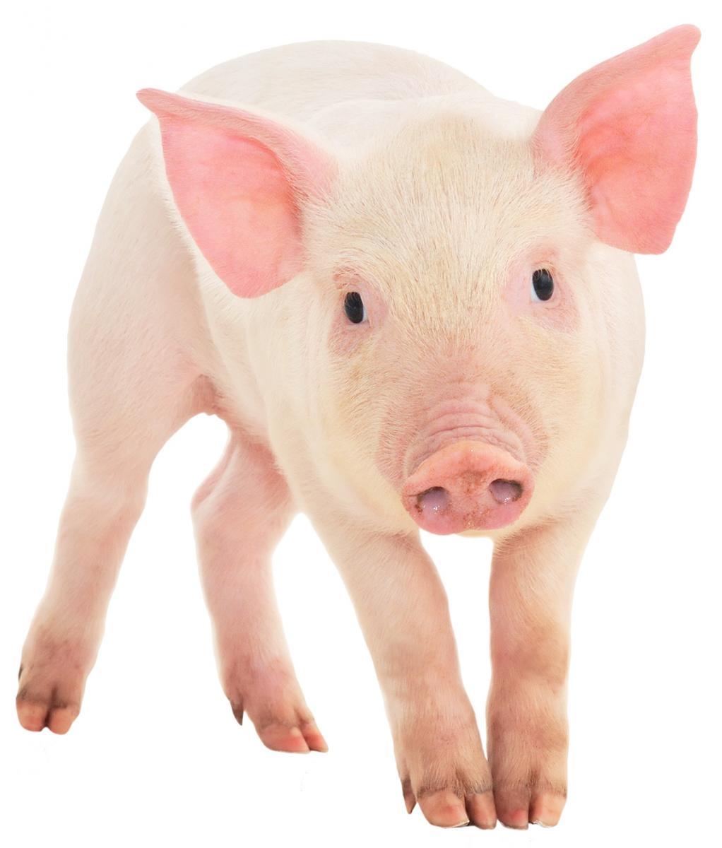 Cochon Image le cochon - liste de 39 livres - babelio